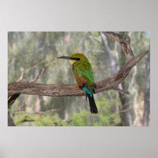 Poster Pássaro do abelha-comedor do arco-íris, Austrália
