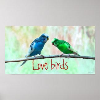 Poster Pássaros do amor, Parakeets coloridos, elegantes