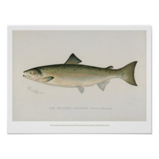 Poster Peixes do vintage - salmões atlânticos