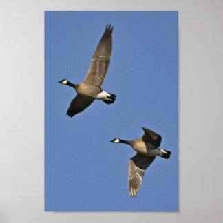 Poster Poucos gansos de Canadá em vôo