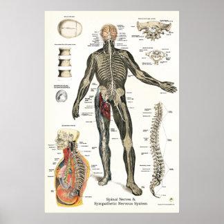 Poster Quiroterapia 24 x 36 dos nervos espinais de