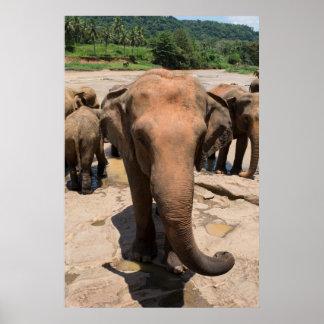 Poster Retrato do grupo do elefante, Sri Lanka