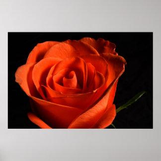 Poster Rosa vermelha bonita no fundo preto