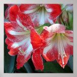 Poster vermelho e branco do Amaryllis da listra