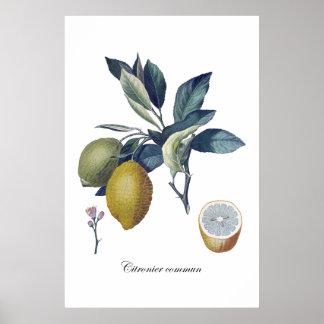 Poster vintage botânico do estudo do LIMÃO