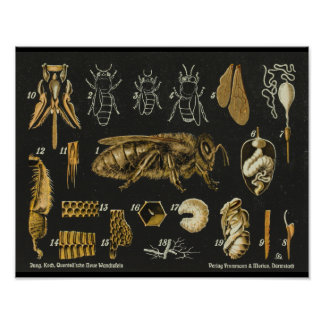 Poster vintage do inseto da anatomia da abelha do