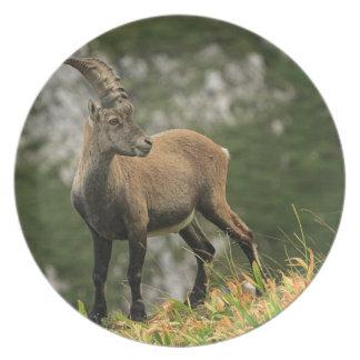 Prato De Festa Íbex selvagem alpino, da cabra, ou steinbock