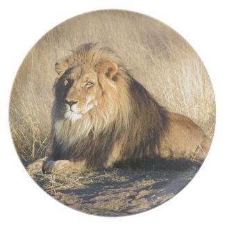 Prato De Festa Leão que lounging em Nambia