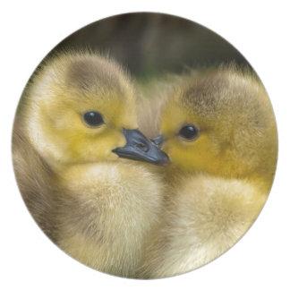 Prato De Festa Patinhos macios amarelos bonitos, patos do bebê