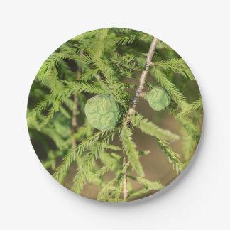 Prato De Papel Cone da semente de Cypress calvo