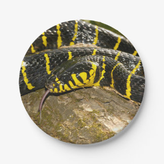 Prato De Papel Dendrophila de Boiga ou cobra dos manguezais