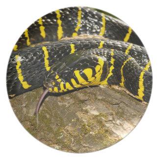 Prato Dendrophila de Boiga ou cobra dos manguezais