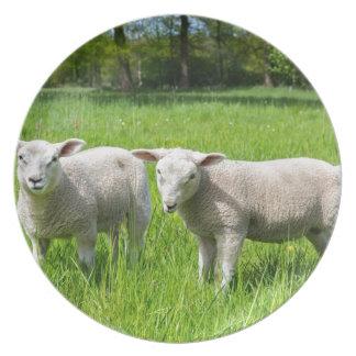 Prato Dois carneiros holandeses brancos no prado verde