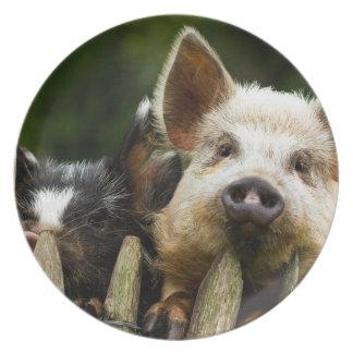 Prato Dois porcos - fazenda de porco - fazendas da carne