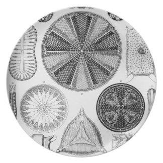 Prato Ernst Haeckel Diatomea