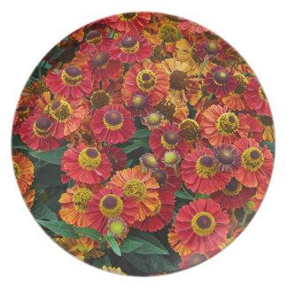 Prato Flores vermelhas e alaranjadas do helenium