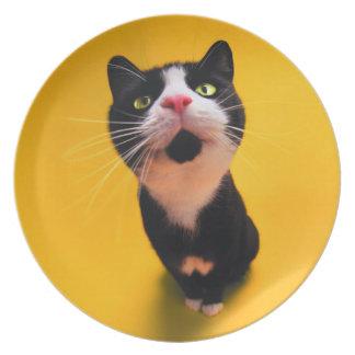 Prato Gato preto e branco do gatinho-animal de estimação