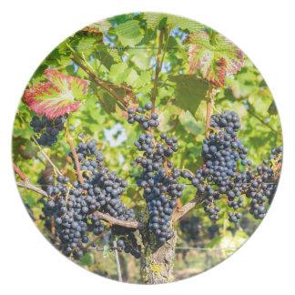 Prato Grupos azuis de suspensão da uva no vinhedo