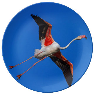 Prato Maior flamingo, roseus do phoenicopterus