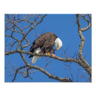 Preening da águia americana impressão de foto