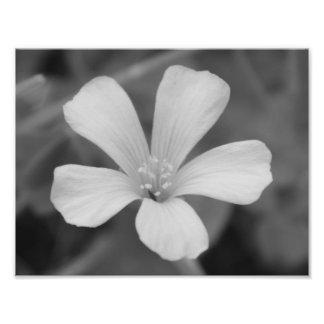 Preto e branco, flor impressão de foto