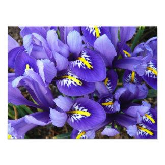 Primavera azul diminuto das íris floral impressão de foto