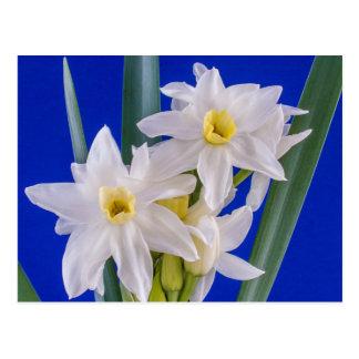 Primavera do narciso cartão postal