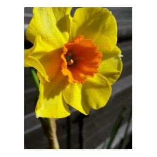 primeiro daffodil cartão postal