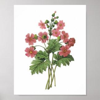 prímula (sinensis do Primula) por Redouté Poster