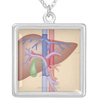 Procedimento da transplantação do fígado colar com pendente quadrado