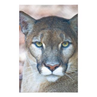 Puma, leão de montanha, pantera de Florida, puma Impressão De Foto