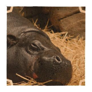 pygmy-hippo-5 porta copos