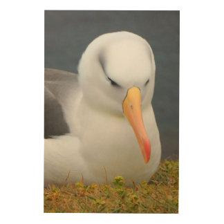 Quadro De Madeira Pássaro do albatroz fora da costa de Nova Zelândia