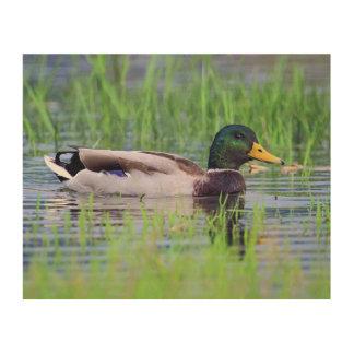 Quadro De Madeira Pato masculino do pato selvagem que flutua na água