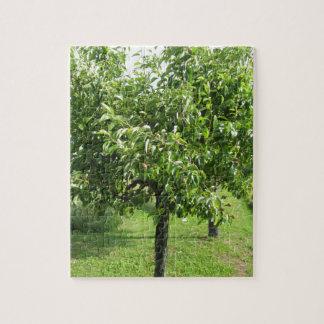 Quebra-cabeça Árvore de pera com folhas do verde e frutas