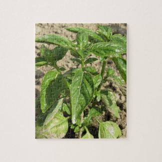Quebra-cabeça Única planta fresca da manjericão que cresce no
