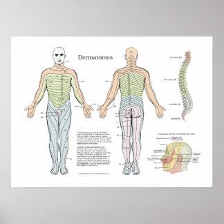 Quiroterapia espinal do poster de Dermatomes