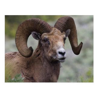 Ram 1 dos carneiros de Bighorn da montanha rochosa Cartão Postal