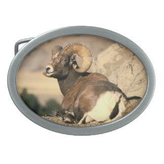 Ram do Big Horn - coleção americana do mamífero