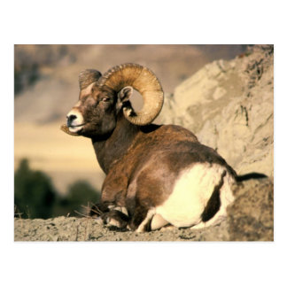 Ram do Bighorn Cartão Postal