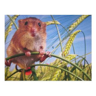 Rato de anão cartão postal