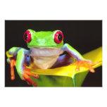 Red Eye Treefrog em um lírio de Calla, Agalychnis Fotografia