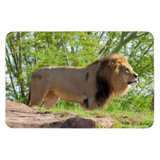 Rei do ímã da selva (leão)