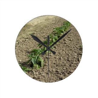 Relógio Redondo Plantas frescas da manjericão que crescem no campo