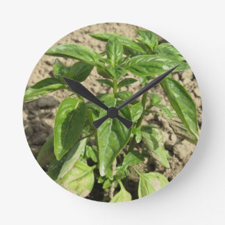 Relógio Redondo Única planta fresca da manjericão que cresce no
