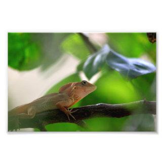 República Dominicana do lagarto Impressão De Foto
