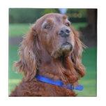 Retrato bonito da foto do cão do setter irlandês,  azulejo