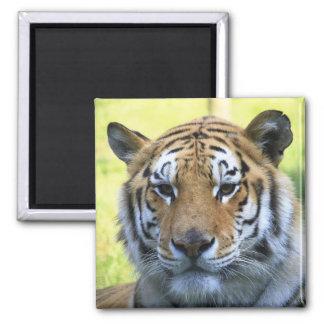 Retrato bonito do tigre ima