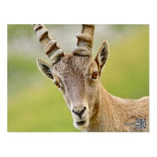 Retrato de um íbex cartão postal
