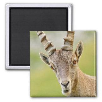 Retrato de um íbex ímã quadrado